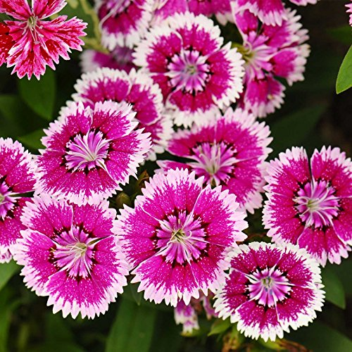 (Dianthus Floral Lace Series Flower Seeds - Violet Picotee - 100 Seeds - Annual Flower Garden Seeds - Dianthus chinensis x barbatus)