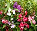 350 Impatiens Balsamina Mixed Color Seeds