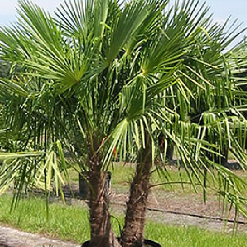 (WINDMILL PALM Trachycarpus fortunii cold hardy 50 seeds)