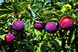 (5 Gallon Bare-Root Set of Two Plants) Santa ROSA Plum Trees, Abundant Producer. Medium Size, Red Skin with Deligious, Golden Flesh. Vigorous and Easy to Grow. Grafted,