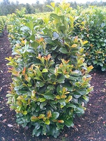 Super immergrüner Kirschlorbeer Prunus laurocerasus Etna -R- 80 - 100 cm &AF_18