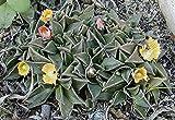 Nananthus transvaalensis Hardy Living Stone Exotic 4+ Seeds! yKE -163