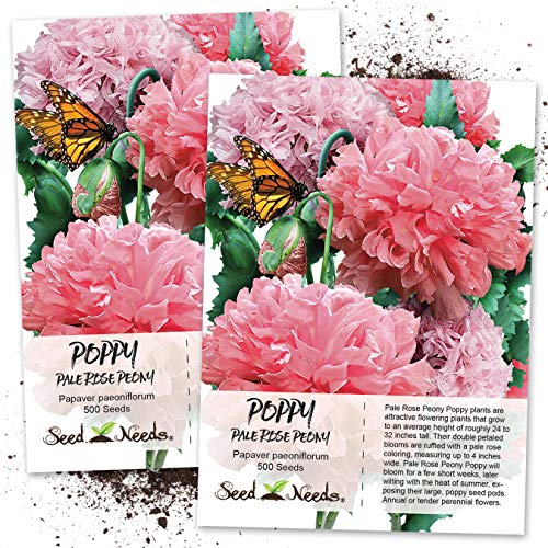 (Seed Needs, Pale Rose Peony Poppy (Papaver paeoniflorum) Twin Pack of 500 Seeds Each)