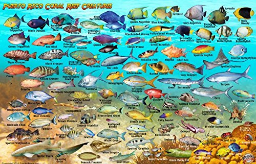 Puerto rico dive surf map and reef creatures guide for Puerto rico fishing