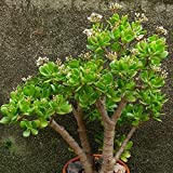 20Pcs/Bag Crassula Ovata Seed Crassula Oblique 'Gollum Indoor Foliage Plants Miniature Potted Plant Seeds Succulent Plants