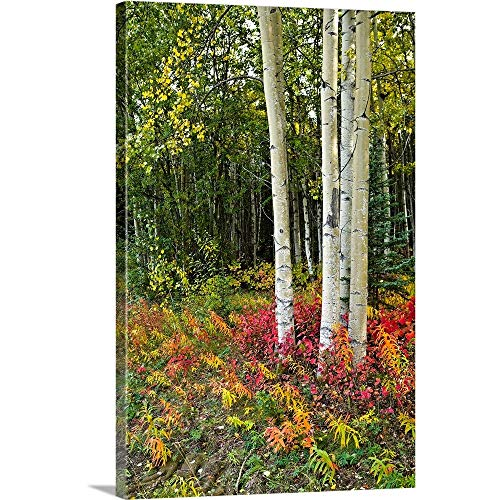GREATBIGCANVAS Gallery-Wrapped Canvas Entitled Colorful View of Aspen Tree Trunks and Fall Foliage, Kenai Peninsula in Southcentral by 24