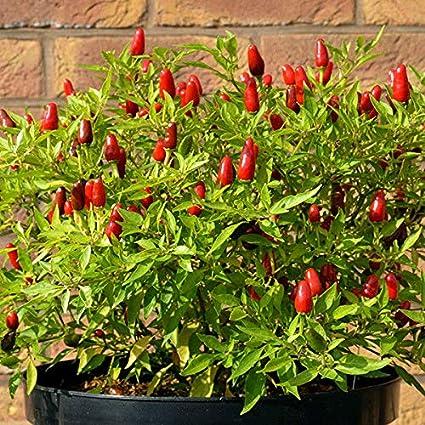 Amazoncom Chilli Pepper Hot Thai 12 Seeds Garden Outdoor