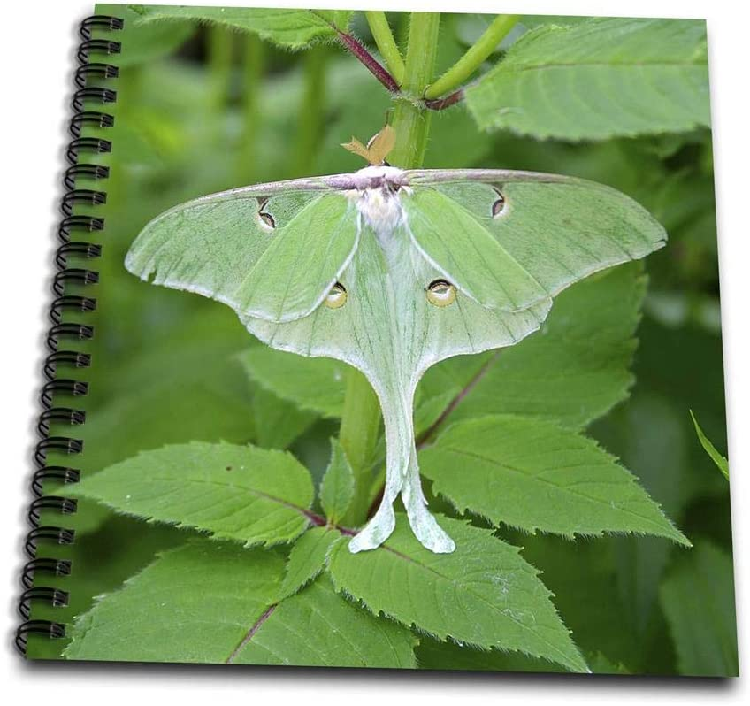 Amazon Com 3drose Luna Moth Actias Luna Marion Illinois Usa Drawing Book 8 By 8 Arts Crafts Sewing