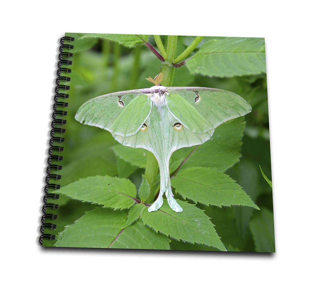 USA Drawing Book Actias Luna Marion Illinois 8 by 8 3dRose Luna Moth