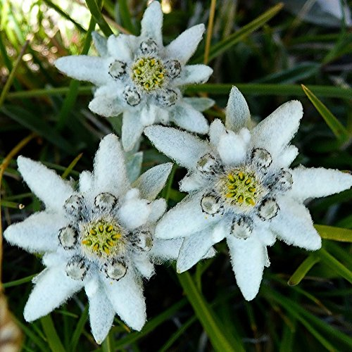 Flower Seeds Edelweiss Alpine from Ukraine