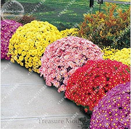 100Pcs Rare Bonsai Perennial Chrysanthemum Flower Seeds Plant Seeds Home Garden