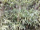1 Rhizomes of 5 Feet Pseudosasa Japonica Arrow Bamboo