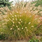 Desert Plains Fountain Grass - 1 Gallon (Pennisetum 'Desert Plains')