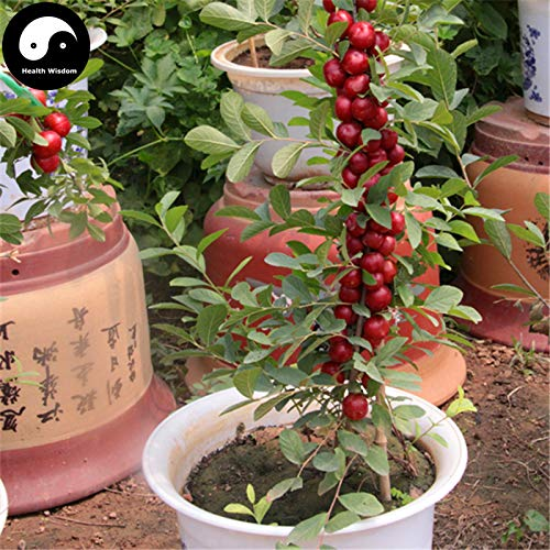 Buy Dwarf Fruit Trees - Fruits Infusant Tree Cherry Buy Dwarf Cherry Fruit Tree Semente 120pcs Plant Cerasus Humilis for Calcium Fruit