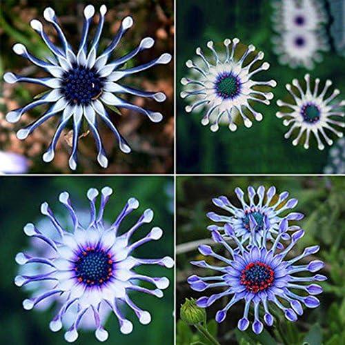 Ncient 50 Unids Semillas Margarita Azul Flore Semillas Crisantemo Raras Plantas Bonsai para Maceta Jardín Balcon Interior y Exteriores: Amazon.es: Jardín
