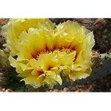 """Kakteengarten 1 Pflanze winterharte Opuntia macrocentra """"Orogrande Neu-Mexiko"""" / Feigenkaktus im 9cm Topf"""