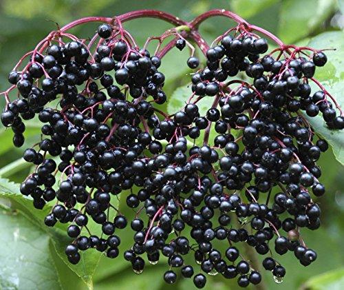 (SeedsBulbsPlants&More,Self Fertile Black Bearing Elderberry, 6-10