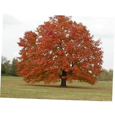 LAJ 30 Pcs Seeds Red Maple Tree - 73RK : Garden & Outdoor