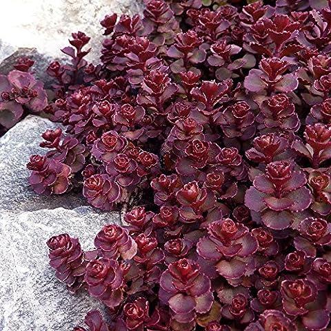 50 Perennial Flowering Groundcover Seeds - Stonecrop Sedum -