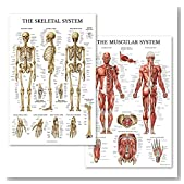 Palace Learning Muscular & Skeletal System Anatomical Poster Set - Laminated 2 Chart Set - Human Skeleton & Muscle Anatomy - Double Sided (18 x 27)