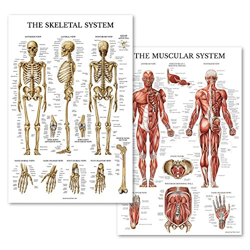 Muscular & Skeletal System Anatomical Poster Set - LAMINATED 2 Chart Set - Human Skeleton & Muscle Anatomy - Double Sided (18 x 27) - Skeletal System Poster