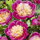 Van Zyverden Peonies - Bowl Of Beauty- Set of 3 Roots