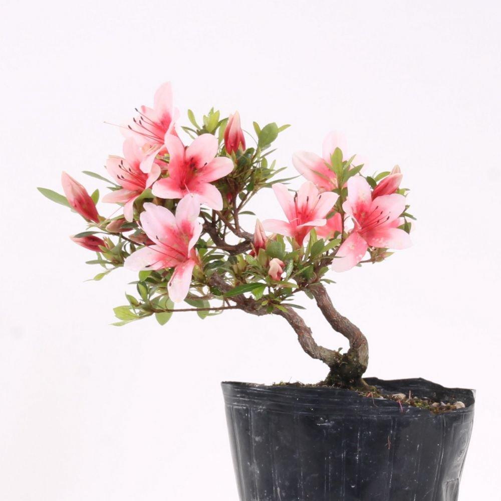 Bonsai - Jap. Satsuki Azalee 'Hi-no-Maru', Rhododendron indicum 183/65