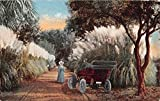 California Car on Dirt Road with Pampas Grass Antique Postcard J7319