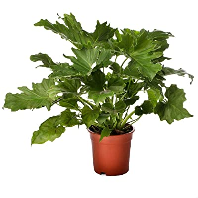 "AMERICAN PLANT EXCHANGE Philodendron Selloum Live Plant, 6"" Pot, Indoor/Outdoor Air Purifier : Garden & Outdoor"