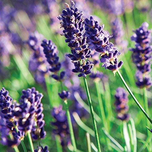 Munstead Lavender Herb Perennial Relaxing