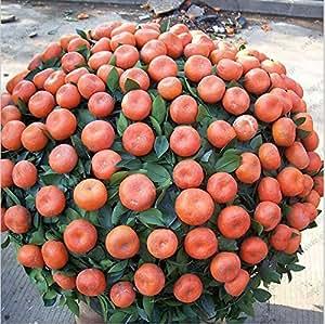 Orange seeds potted small bonsai fruit seeds orange tree climbing plant seeds 100% true seeds 100 PCS / bag