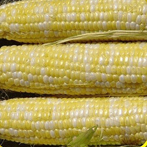 Everwilde Farms - 1 Lb Serendipity Hybrid Sweet Corn Seeds - Gold - 1 Corn Pound