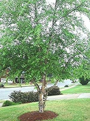 50 Seeds - River Birch, (Black Birch), Betula nigra, Tree Seeds (Fast, Hardy, Fall Color)