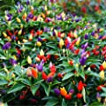 100 Ornamental Pepper Seeds~special