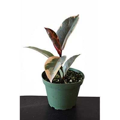 "AchmadAnam 4"" Pot Indoor Houseplant Tineke Rubber Ficus Tree Live Plant New Yet Very Old : Garden & Outdoor"
