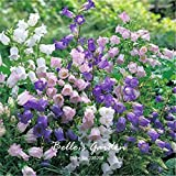 Abutilon Pictum Nightshade Plant 50pcs Mix-Colors Canterbury Bells Seeds Abutilon Striatum Dickson Campanula Medium Seeds Beautiful Bonsai Flower Seeds