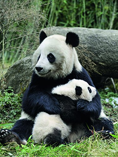 Poster de oso panda