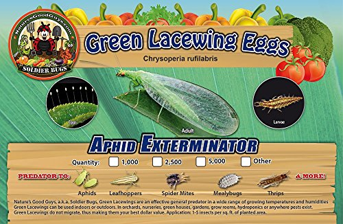 Green Lacewing 1000 Eggs - Good Bugs - Aphid Exterminator by The Future by The Future