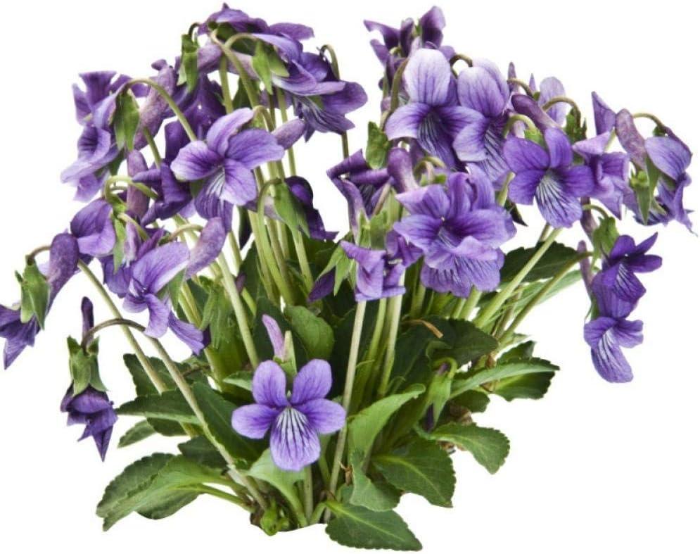 XINDUO Raras Semillas de césped,Crisantemo Violeta Cubierta de Tierra jardín de Flores especies-500g,Mezcla Semillas Ornamentales: Amazon.es: Hogar