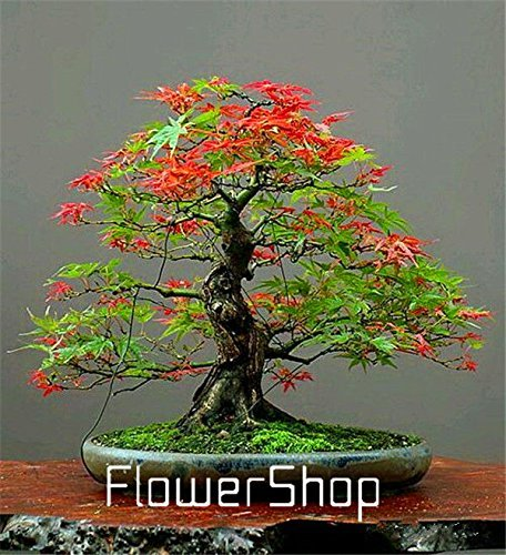 Mini Beautiful Japanese Red Maple Bonsai Seeds, DIY plant bonsai shrub tree seeds, fresh maple seeds 50pcs 11 (Beautiful Bonsai)