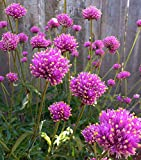 HOT - Gomphrena Fireworks 100 Seeds