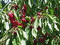 10 Seeds Dwarf Cherry Fruit Tree Self Fertile