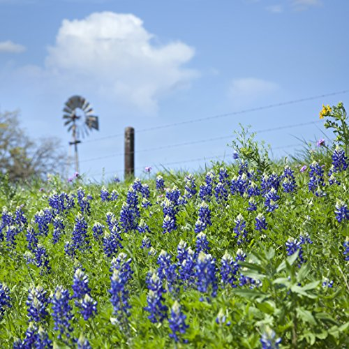 Outsidepride Texas Bluebonnet Wildflowers Seed - 1 LB by Outsidepride (Image #2)