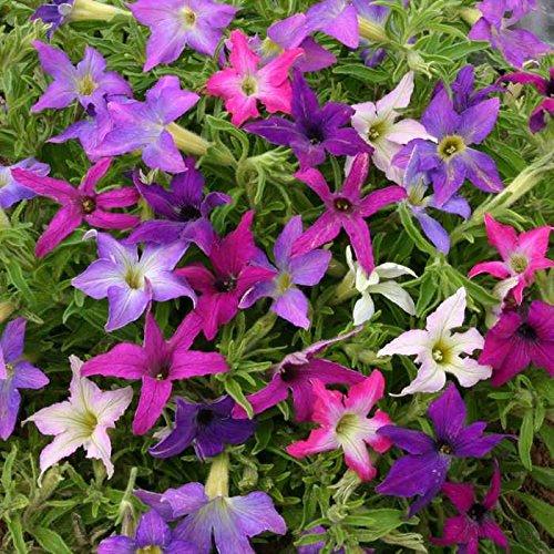 Petunia Sparklers Dynamic Blend for Hanging Baskets, 20 Seeds