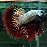 Amazon com : Aruno Maison Live ANN 3 Thai Giant Betta