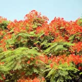 DELONIX REGIA FLAMBOYANT TREE colorful 10 seeds