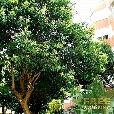 Chinese Glossy Privet Ligustrum Lucidum - 15 Seeds. : Garden & Outdoor