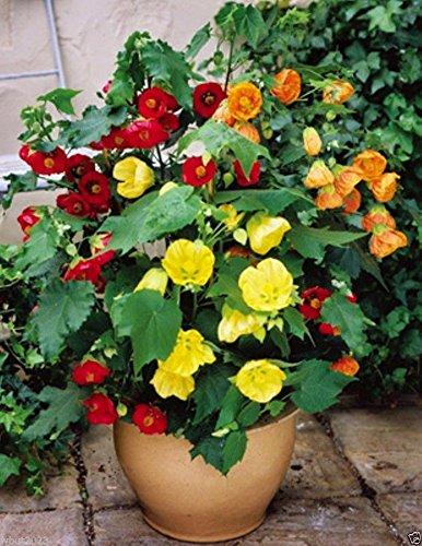 Amazoncom Flowering Maple Abutilon Belvue Mix Aka Parlor Maple
