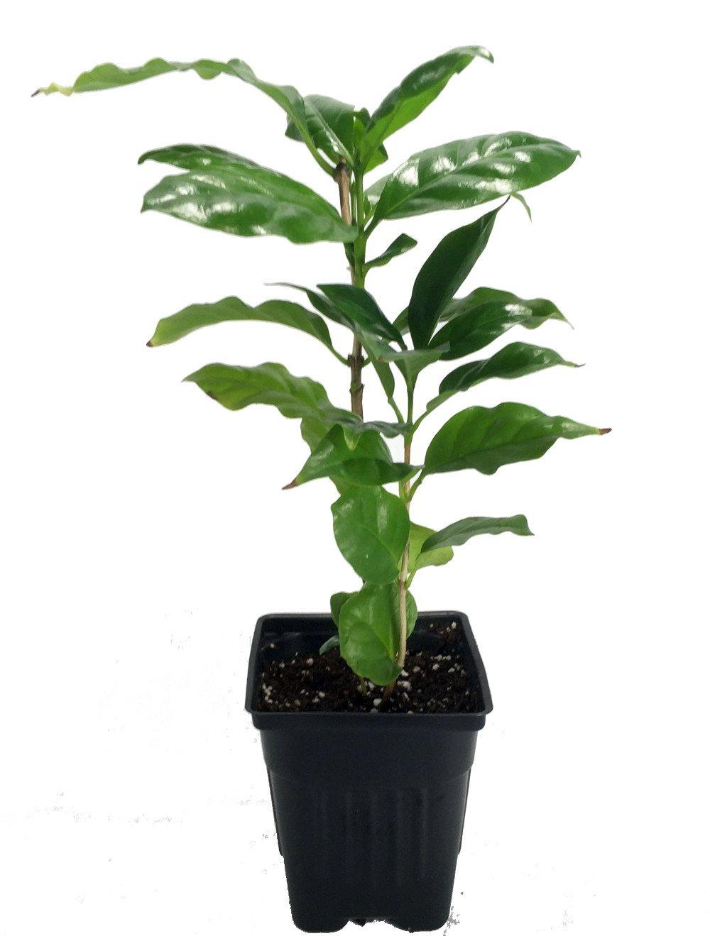 Hirt's Arabica Coffee Bean Plant – 3.5″ pot – Grow & Brew Your Own Coffee Beans