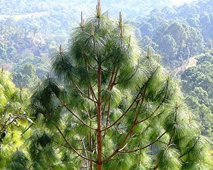 creative farmer chir pine tree seeds himalayan longleaf pine seeds
